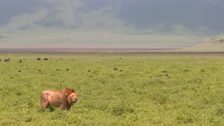 A proud male lion stands on the plains of Africa.