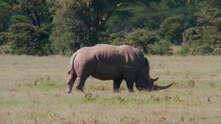 A rare rhino grazes on the plains of Africa.