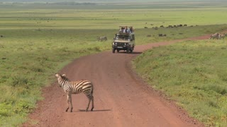 A safari jeep encounters a zebra on an African road.