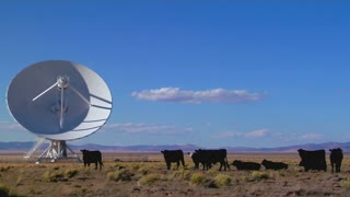 A satellite dish sits amongst cows in a desolate field.