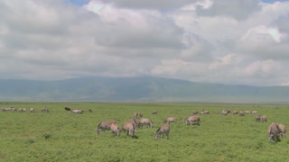A slow pan across the open savannah of Africa with zebras and wildebeest grazing.