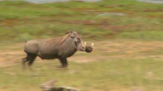 A warthog runs across the desert in Africa.
