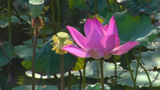 A water lily sits in a pond as insects hover around it.
