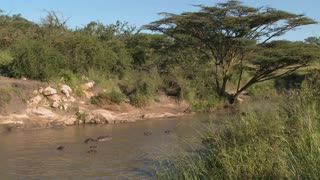 A wide shot of a river in Africa filled with hippos.