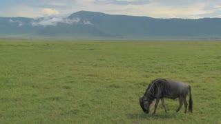 A wildebeest grazes on the plains of Africa.