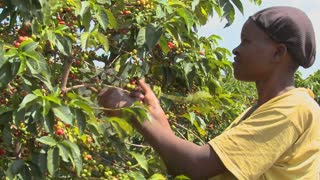 A woman picks coffee beans on a farm in Africa.