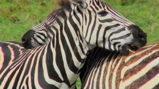 A zebra licks and bites the rump of another zebra.