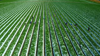 Aerial shot over migrant immigrant farm workers working in the strawberry fields of California.