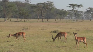 African antelope graze on the plains.