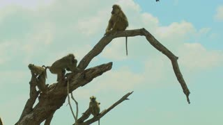 African baboons sit in a tree as a family group.