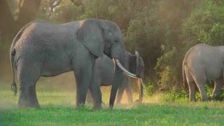 African elephants graze in a field.