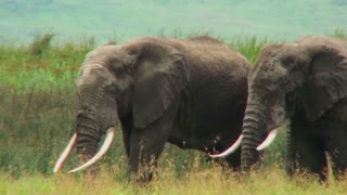African elephants graze on the savannah.