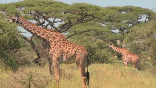African giraffes eating from trees.