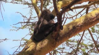 An adult baboon rests in a tree and scratches his head.