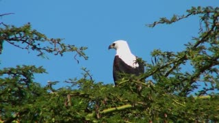 An African fish eagle sits in a thorny bush tree and then flies away.