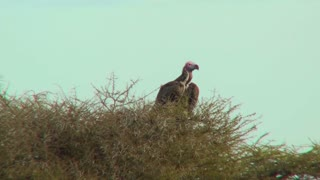 An African vulture sits in a tree.