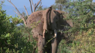 An angry African elephant acts threatening, as if to charge.