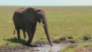 An elephant drinks from a watering hole on the Serengeti plains.