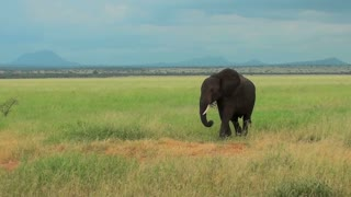 An elephant grazes on the plains of Africa.