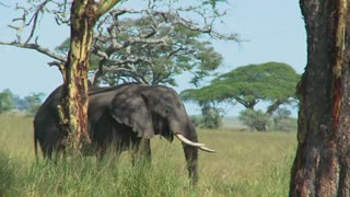 An elephant reaches into the trees with its trunk.
