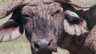 An extreme close up of a cape buffalo face looking angry.