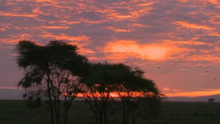 An orange sunset over the plains of Africa with acacia tree foreground.