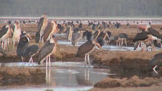 Ancient birds visit a watering hole in Nakuru national Park, Kenya.