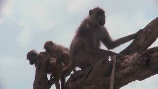 Baboons and babies sit in a tree in Africa.