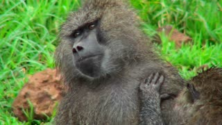 Baboons groom each other in Africa.