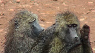 Baboons pick fleas off each other in a grooming ritual in Africa.