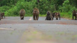 Baboons play and chase each other along a road in Africa.