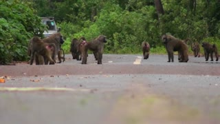 Baboons play on a road in Africa as a vehicle approaches.