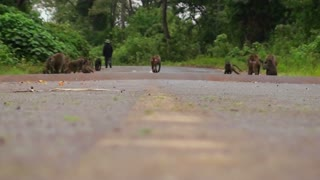 Baboons play on a road in Africa.