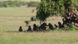 Baboons play under a tree on the African savannah.