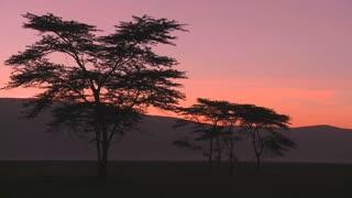 Beautiful acacia trees at dawn on the African savannah.