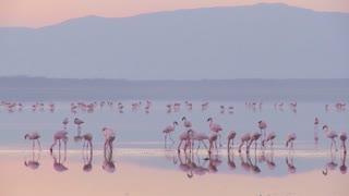Beautiful footage of pink flamingos in early morning light on Lake Nakuru, Kenya.