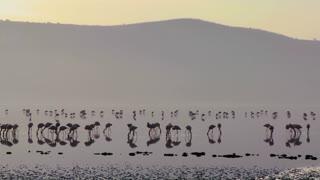 Beautiful silhouetted footage of pink flamingos in early morning light on Lake Nakuru, Kenya.