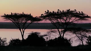 Birds sit in an acacia tree at sunset in Africa.