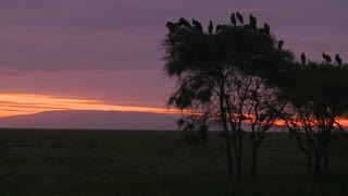 Birds sit in trees and watch others migrate at dawn on the Serengeti.