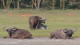 Cape buffalo relaxing on the plains of Africa.