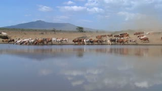 Cattle move around a watering hole in Africa.