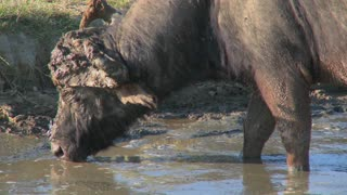 Close on a cape buffalo grazing at a watering hole in Africa.