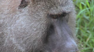 Close up of a baboon face having fleas and ticks picked off in a grooming ritual.