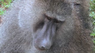 Close up of a baboon having fleas and ticks picked off in a grooming ritual.
