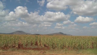 Corn grows in farm fields in Africa.