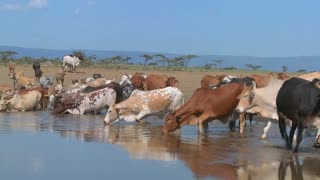 Cows and cattle drink from a watering hole in Africa.