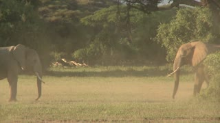Elephants fight each other on the plains of Africa.