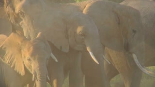 Elephants in golden sunrise or sunset light with babies.