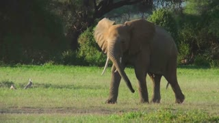 Elephants square off and fight in Africa.