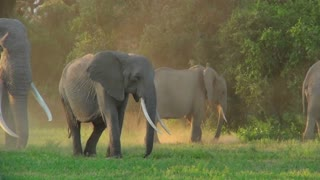 Elephants with giant tusks walk in golden morning sunrise or sunset light in Africa.